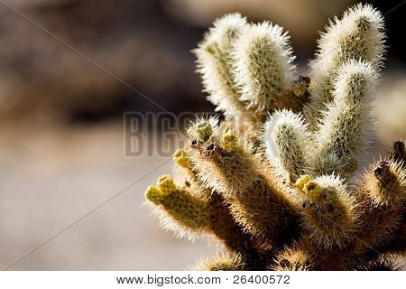 cactus detail - cholla cactus in the cholla cactus garden, joshua tree national park, california. shallow depth of field with focus on pair of blooms in image center