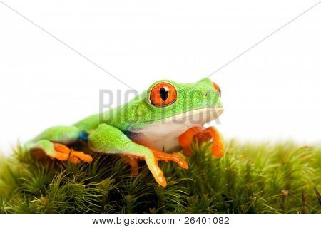 frog on natural moss isolated on white - red-eyed tree frog (Agalychnis callidryas)
