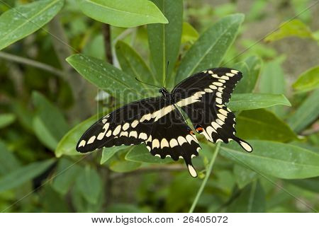 Giant swallowtail butterfly on plant