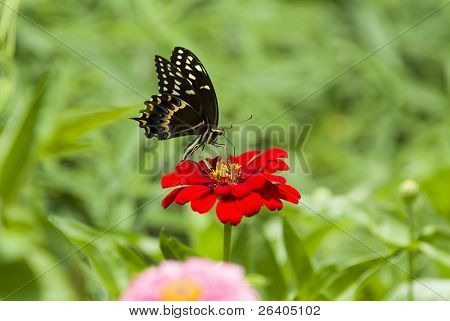 Black Swallowtail on Red Zinna Flower