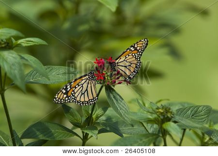 Two Monarch butterflies on red flower