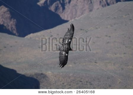 California condor flying in Grand Canyon, Arizona