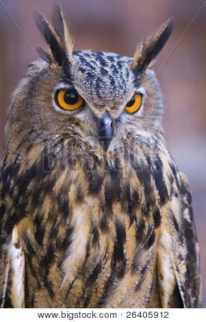 Beautiful close ups of barn owl 02