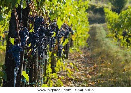 üppige reif Grapes on the Vine 35
