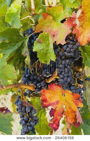 Lush ripe grapes on the vine 78