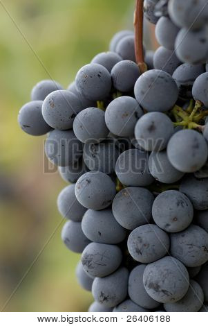 Lush ripe grapes on the vine 89