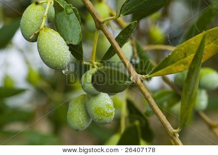 Plump Italian Olives on the tree 01. See more in my portfolio