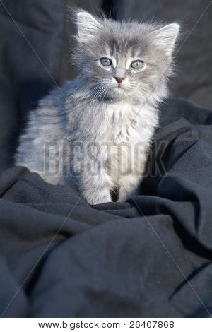 Adorable cute little gray kitten cat