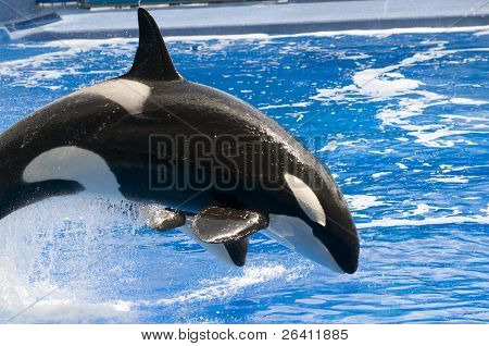 Black and white orca killer whale swimming