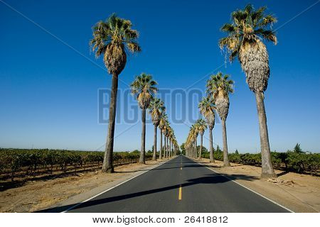 Road lined in Palm Trees in California