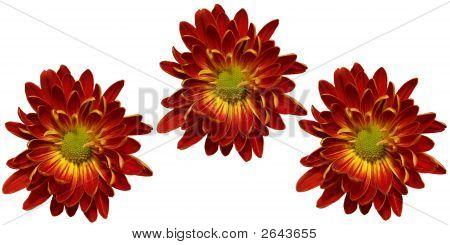 Crysanthemum Flowers