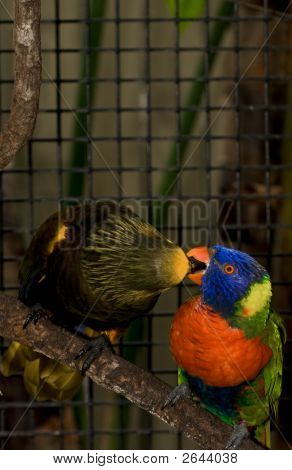 Lorikeets Sharing Food