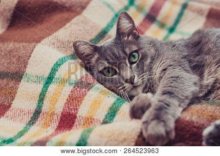poster of Lazy Cat Relaxing On Soft Blanket. Pets, Lifestyle, Cozy Autumn Or Winter Weekend, Cold Weather Conc