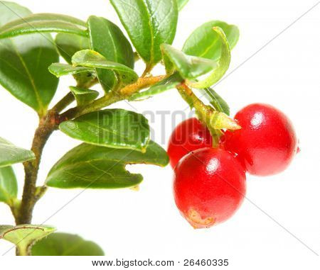 The Cranberry (Vaccinium vitis-idaea) has been used as an astringent,  disinfectant/antiseptic, a diuretic, and  treat breast cancer, diabetes mellitus, rheumatism, and various urogenital conditions.