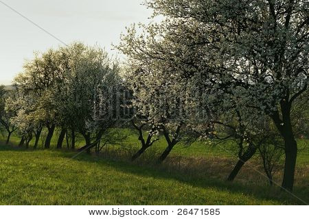 Row fruit trees on spring