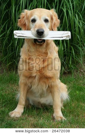 golden retriever -  assistant  mailman