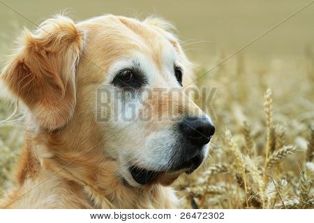 golden retriever in field wheat