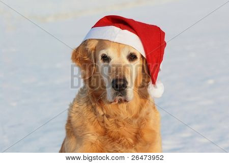 "My dog   - "" Golden retriever "" like dog -santa claus"