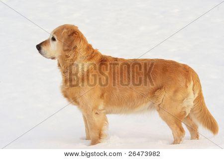 Golden retriever  in of winter on snow