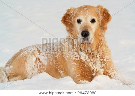 Golden retriever en invierno en la nieve