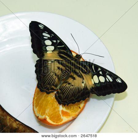 Parthenos Sylvia (Clipper Butterfly)