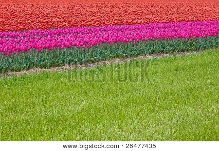 Field red tulips in Netherlands