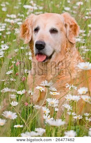 Golden retriever on meadow of full flowers