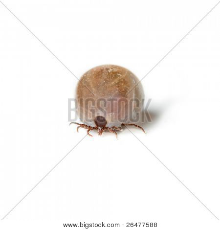 Detail tick - parasite on white background (Rhipicephalus sanguineus)
