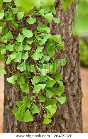 Ginkgo biloba leaves. Leaf of ginkgo shallow focus.