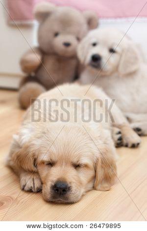 Two beautiful golden retriver puppies