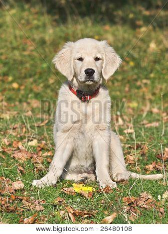 Close up look - puppy golden retriever