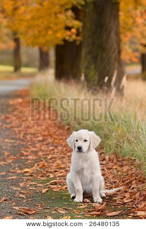 Close up look - puppy golden retriever very small focus