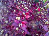 Red Leaves Bush With Little Fury White Flowers In Bloom, Blurred Background poster
