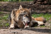 Old Gray Wolf Licks Paw Lying On The Ground. Beautiful Predator Western Or Timber Wolf (canis Lupus) poster
