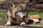 Old Gray Wolf With Open Mouth Lying On The Ground. Beautiful Aged Predator Timber Or Western Wolf (c poster