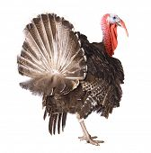 picture of turkey-cock  - turkey - JPG