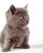domestic kitten poster