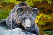 Bear (ursus Arctos) In Autumn Forest poster