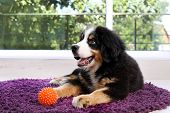 Adorable Bernese Mountain Dog Puppy On Fuzzy Rug Indoors poster