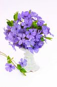 Small violet of flower on white background