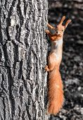 Funny Wild Red Squirrel On Park Tree. The Red Squirrel Or Eurasian Red Squirrel Playing In Natural B poster