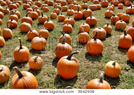 A Field Of Pumpkins.