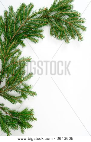 Fir-Tree  Twig,