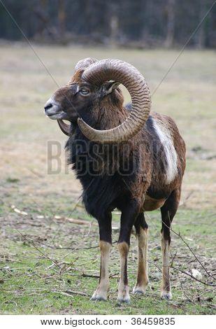 male mufflon