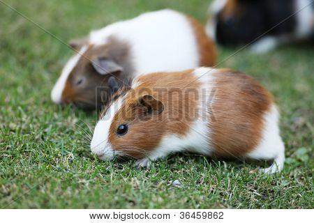Guinea pigs eating grass