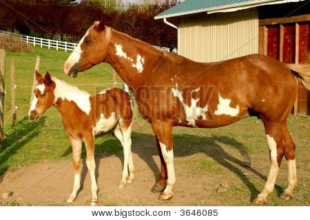 Overo Paint Mare With Foal
