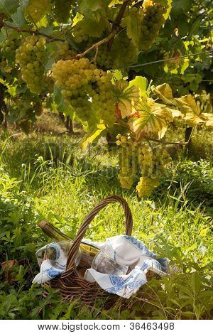 Small picnic basket in a vineyard in Alsace france under grapes used for the famous pinot blanc wine