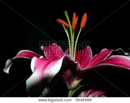 Hotpink Flower