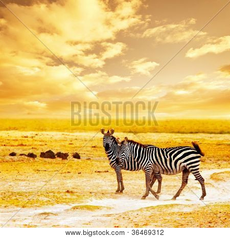 African safari, zebras family and landscape of Amboseli National Park, Kenya, wild animals grazing on dry field grass over orange sunset, adventure, traveling, tourism, vacation and holiday concepts