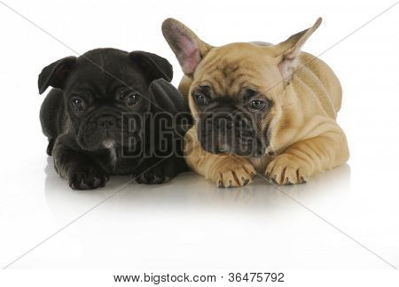littermates - two french bulldog puppies on white background - 8 weeks old